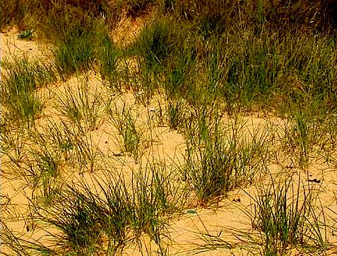L'Oyat des dunes (Ammophila arenaria)